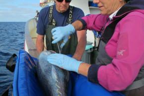 Researchers develop new techniques to study bluefin tuna