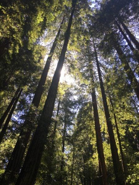 Muir Woods. (JULIE PLUMMER/The Stanford Daily)